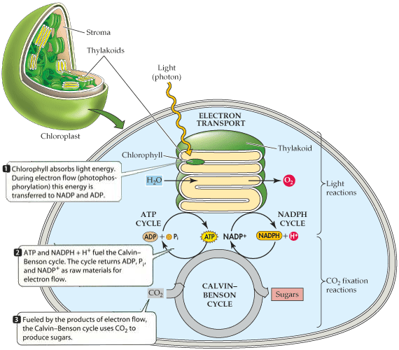 investigation photosynthetic electron transport chloroplas In confirmation of other work we found that oxygen enters the electron transport chain of transport system of chloroplasts in: photosynthetic mechanisms.