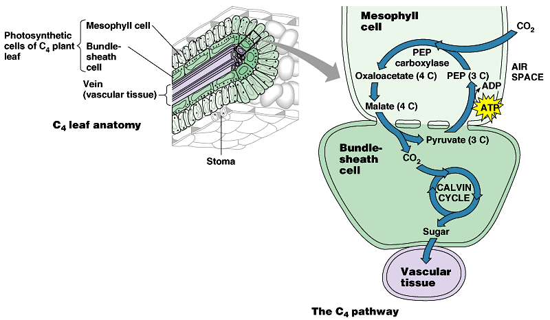 two tpes of photosythesis