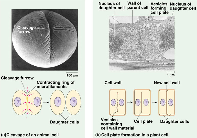121 the mitotic cell cycle shows the formation of the cleavage furrow in animal cells and a cell plate in plants ccuart Images