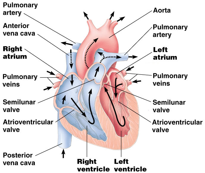 a study of heart structure and circulation Free review of the human circulatory system  heart structure, heart circulation and the cardiac cycle  choose another q&a sequence to study by using the.
