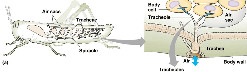 423 respiration shows the tracheal system of insects zooming in on a spiracle ccuart Images
