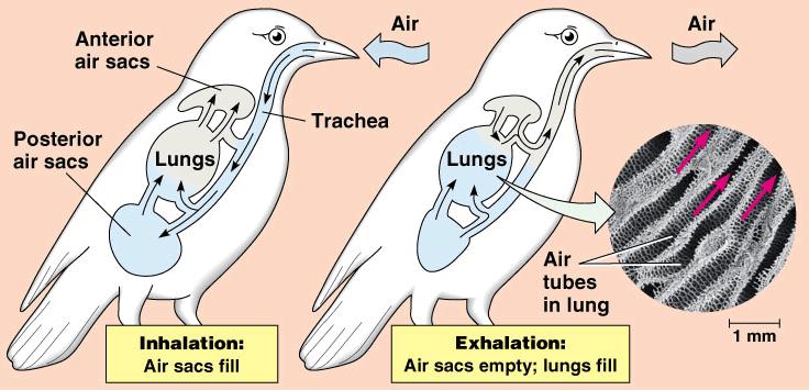 Bird Respiratory System Blank Diagram Wiring Circuit