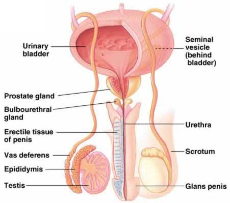 Muscle Male Reproductive Diagram Electrical Drawing Wiring Diagram