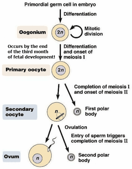 Sperm fertilization poor division