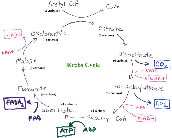 9.2: The Krebs Cycle