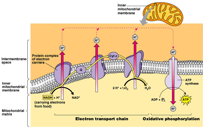 93 electron transport and oxidative phosphorylation a graphical representation of the use of energy from the electron transport chain to pump hydrogen ccuart Image collections